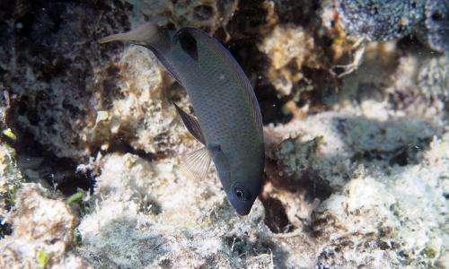 Color-morphing reef fish is a 'wolf in sheep's clothing'
