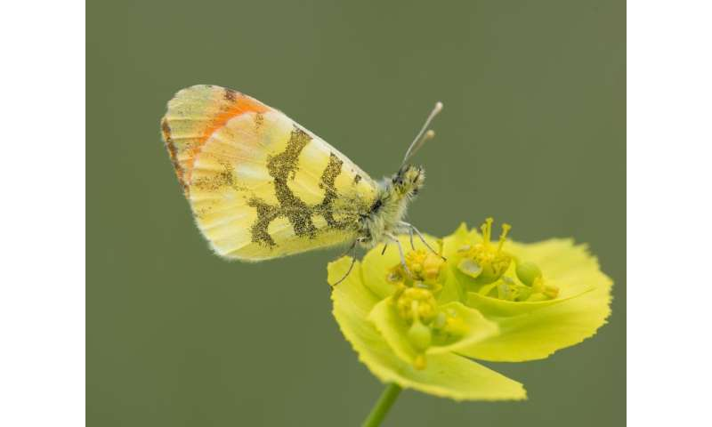 DNA suggests that the diversity of European butterflies could be seriously underestimated