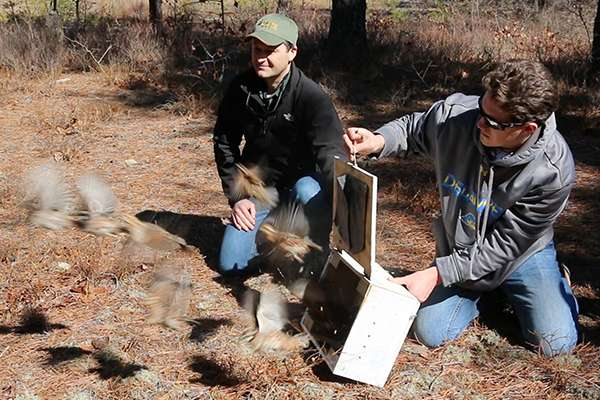 Effort to bring bobwhite quail back to New Jersey Pine Barrens