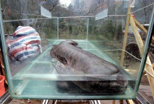File photo of a Chinese giant salamander, lying in a glass enclosure during the China International Conservation festival in Zha