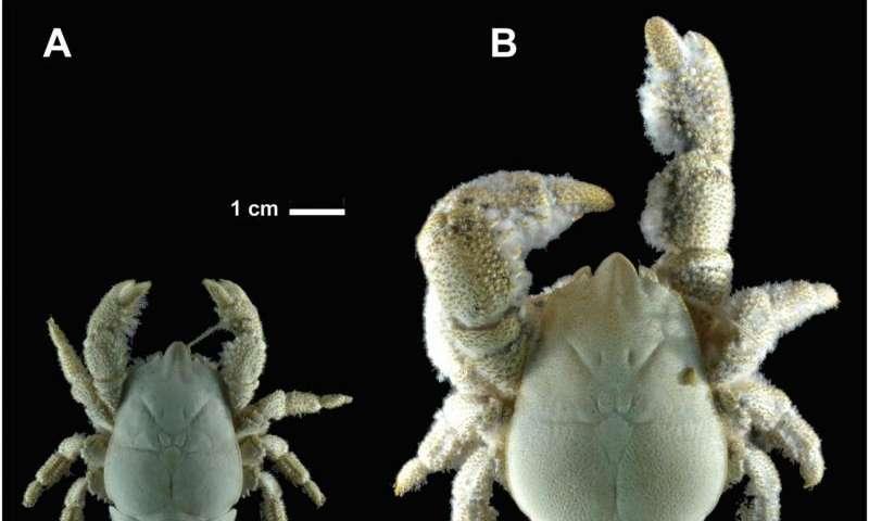 First species of yeti crab found in Antarctica