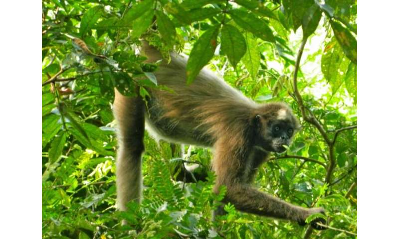 For spider monkeys, social grooming comes with a cost