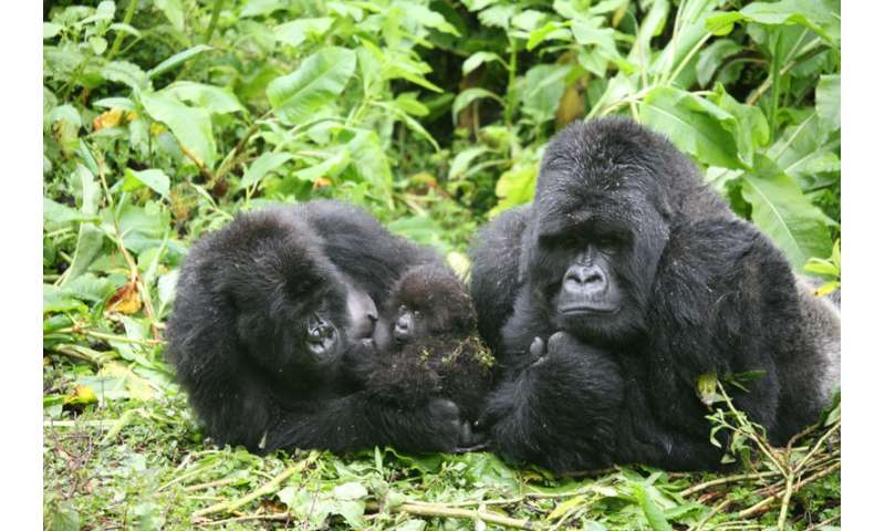 Mountain gorilla mamas sidestep having inbred offspring
