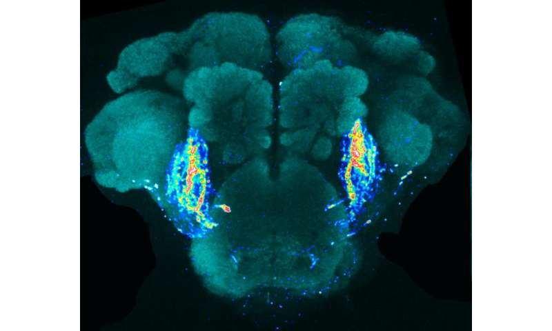 New research uncovers brain circuit in fruit fly that detects anti-aphrodisiac