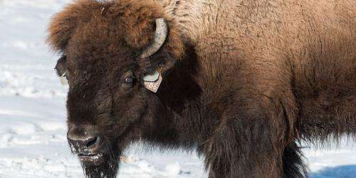 Northern Colorado bison project uses high-tech breeding to halt disease and conserve an icon