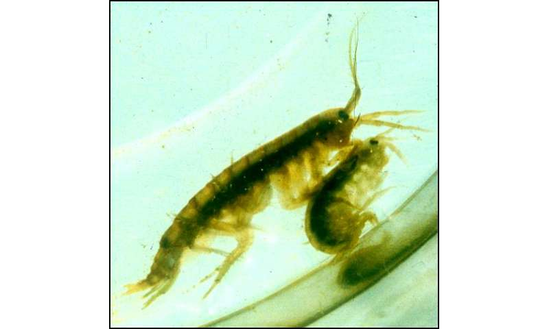 Parasite turns shrimp into voracious cannibals