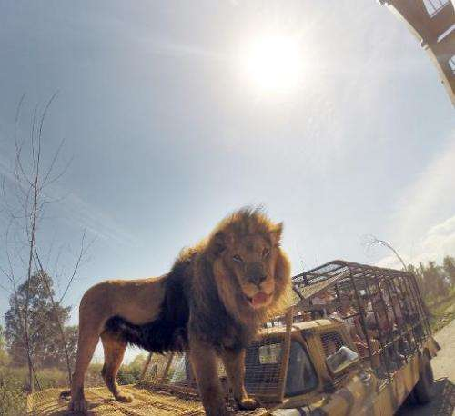Parque Safari in Chile puts visitors in caged vehicles and drives them around the two-hectare park where the lions roam free