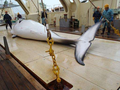 Picture released by the Instutute of Cetacean Research on November 18, 2014 shows a minke whale on the deck of a whaling ship fo