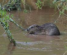 Research team to monitor impact of wild beavers on our waterways