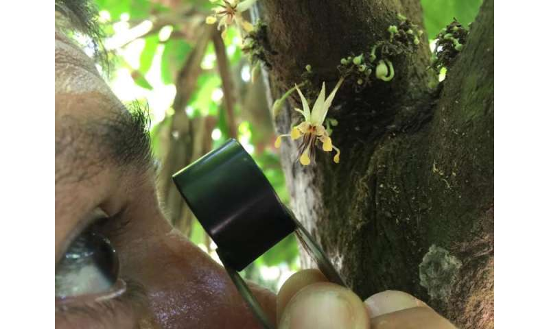 Scientists date the origin of the cacao tree to 10 million years ago