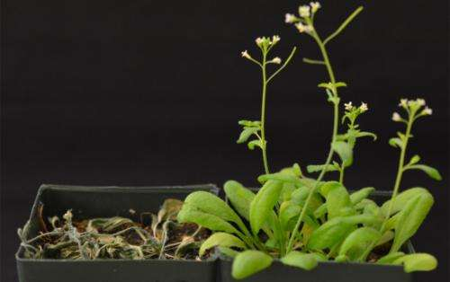 Scientists reprogram plants for drought tolerance