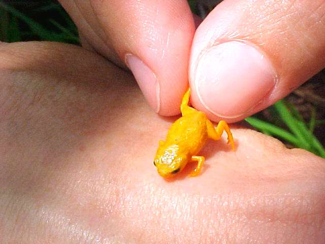 Seven new miniaturized frog species found in the Brazilian Atlantic Rainforest
