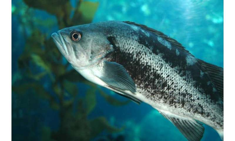 Study finds nearly a third of the bass population that spawn as females become males