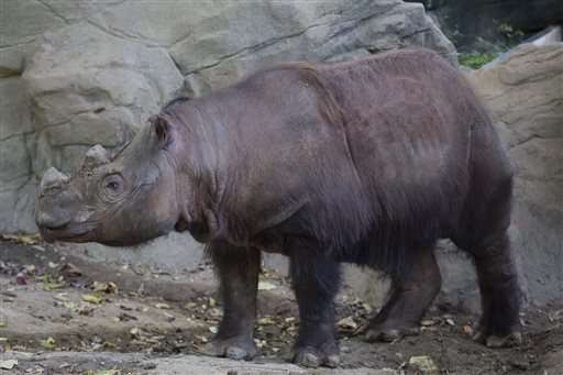 Sumatran Rhino begins US-Asia trip to ancestral home