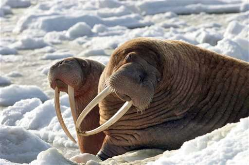 Warming climate leaves Alaskans with fewer walrus to hunt
