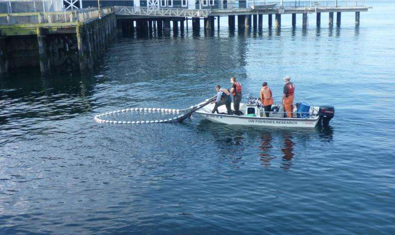 Young chum salmon may get biggest nutrition boost from Elliott Bay restored beaches