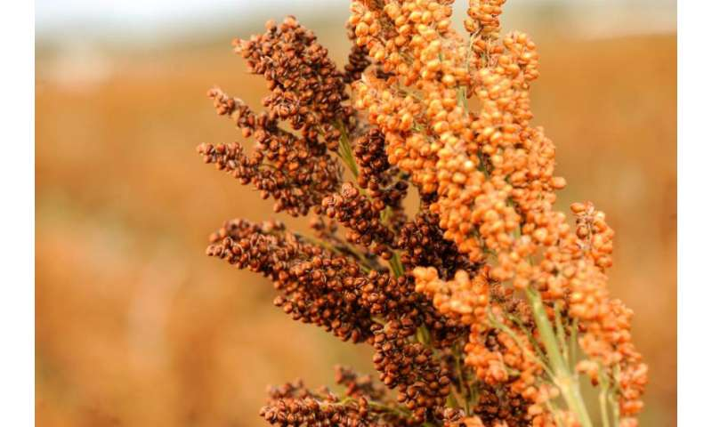 Research shows that genomics can match plant variety to climate stresses