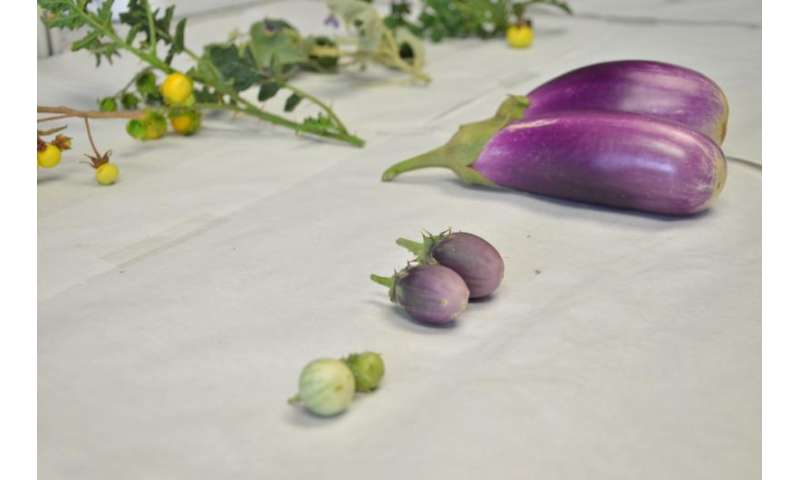 International project to create climate change-resistant eggplants