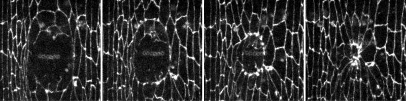 University of Toronto biologists identify mechanisms of embryonic wound repair