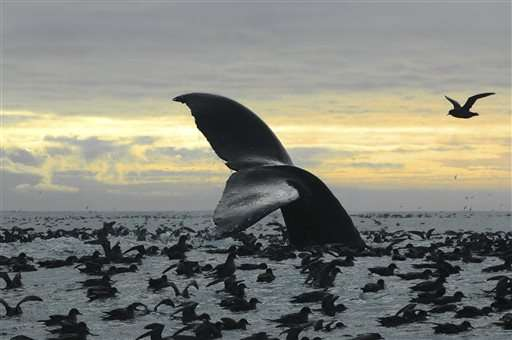 Agency: Humpback whales' recovery is national success story