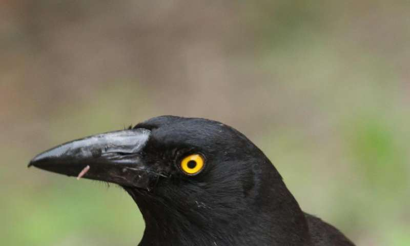 Birds 'cry hawk' to give offspring chance to escape predators
