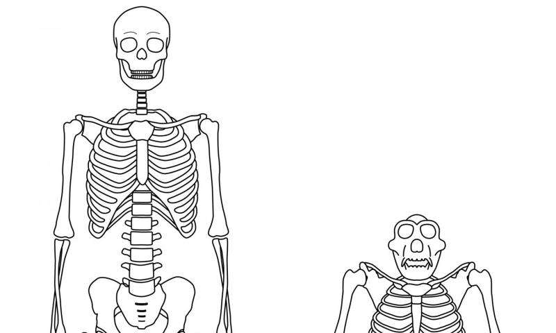 shed light on origins of human walking, Skeleton