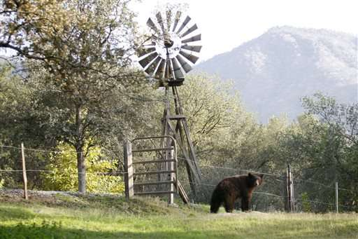 Drought drives bears into California town in search of food