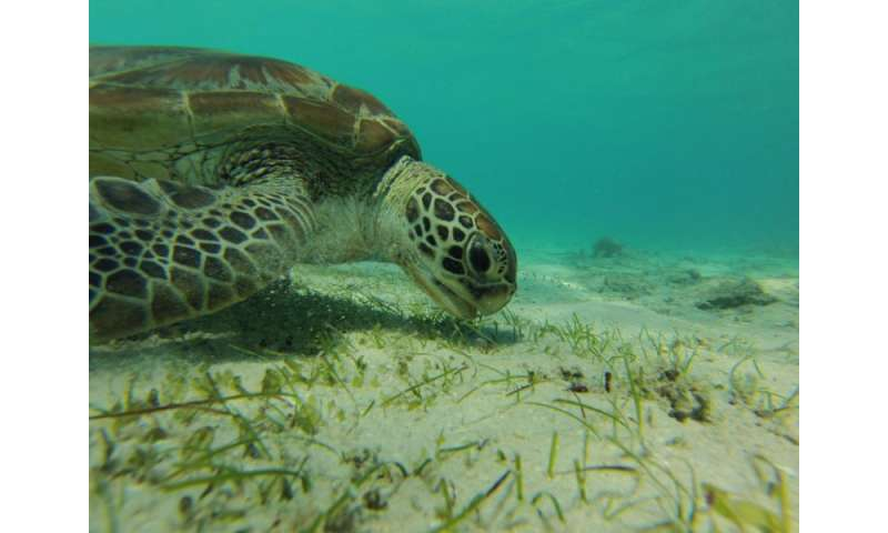 Green sea turtle grazes near Australia's Lizard Island