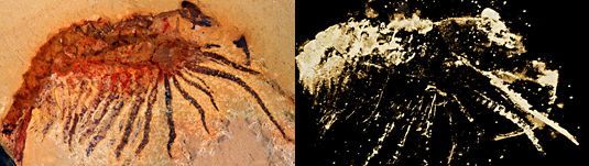 Researchers use computed microtomography to identify well preserved fossil arthropod
