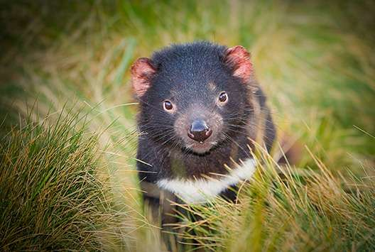 Researchers aiming to produce vaccine to save the Tasmanian devil