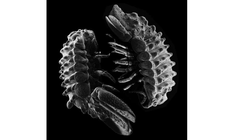 New species of marine roly poly pillbug discovered near Port of Los Angeles