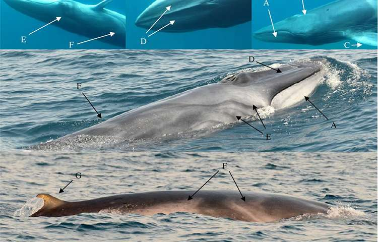 New study provides first field observations of rare Omura's whales