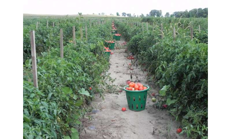 Participatory breeding program assists organic tomato growers
