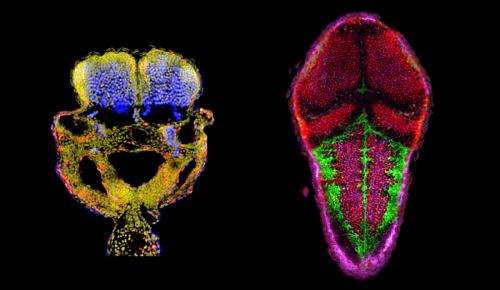 Research team identifies key process in embryonic neurogenesis