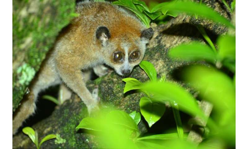 Saving the slow loris