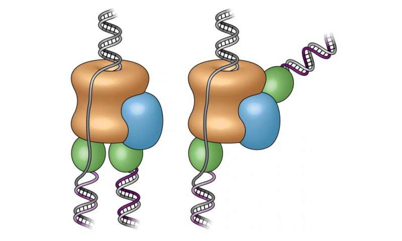 Study reveals the architecture of the molecular machine that copies DNA