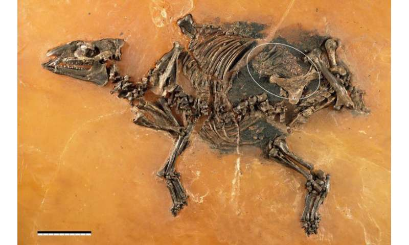 48-million-year-old horse-like fetus discovered in Germany