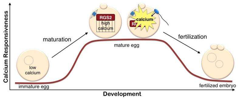 Researchers identify protein in mice that helps prepare for healthy egg-sperm union