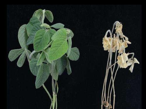 Research finds salt tolerance gene in soybean