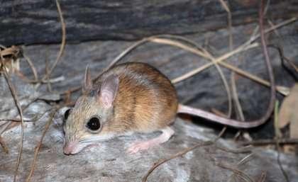 Elusive mouse edges close to extinction
