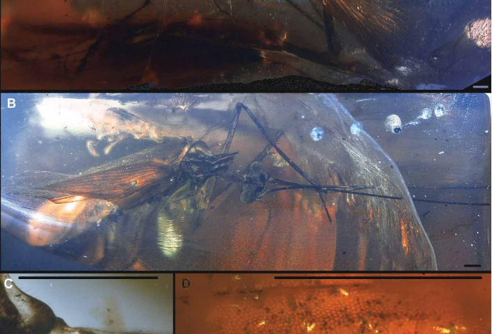 Dinosaur-times cockroach caught in amber, from Myanmar