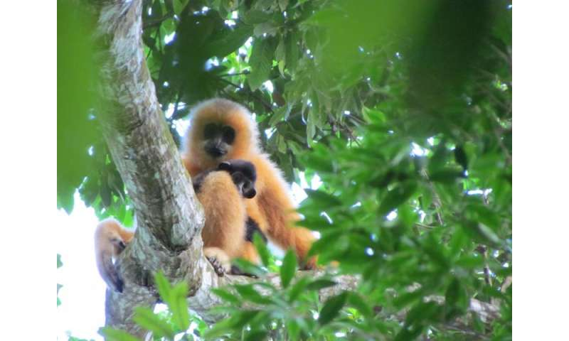 New action plan to save world's rarest primate