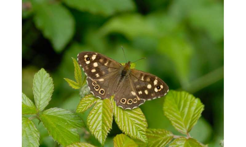 Severe droughts could lead to widespread losses of butterflies by 2050