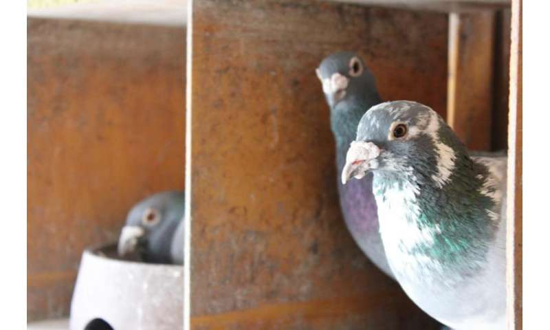 Study shows visual clues important for pigeons homing abilities