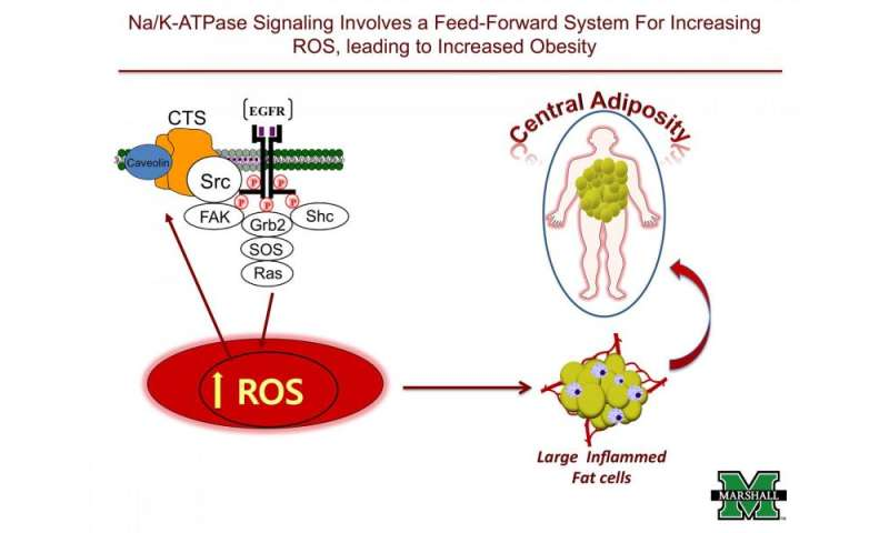 Team Finds That Targeting Sodium Potassium Pump In Fat Cells May
