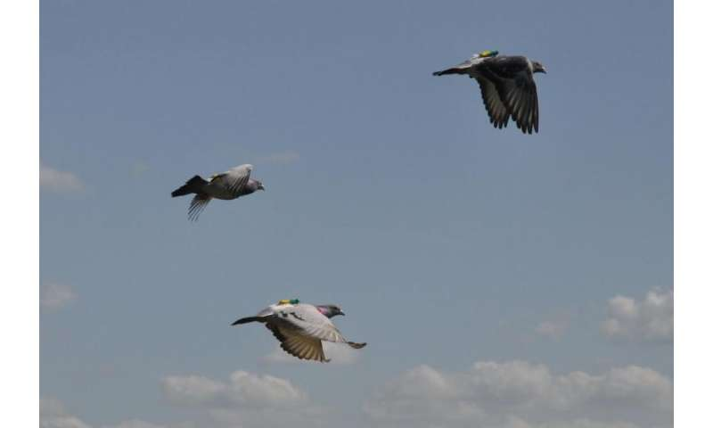 Fastest pigeons tend to become flock leaders; leaders learn navigation skills more effectively than followers