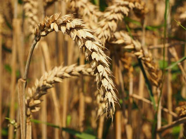 Important milestone in wheat research announced