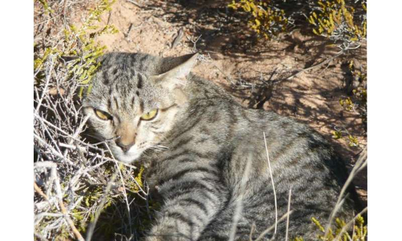 Where did Australian cats come from?