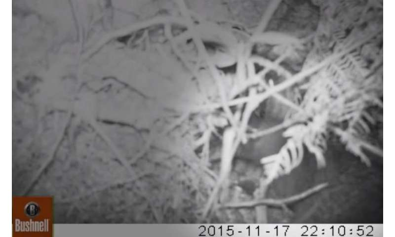 Footage captures kiwi destroying robin nest, revealing unknown behavior