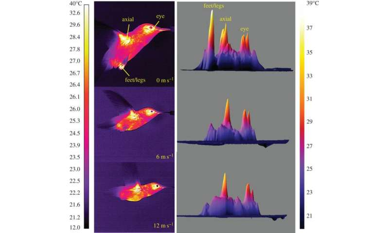 Infrared video reveals how hummingbirds dissipate heat